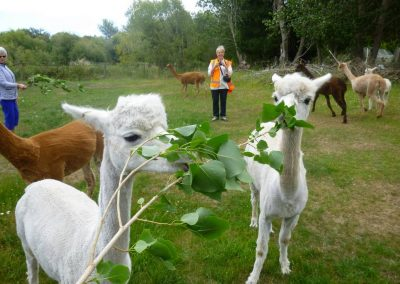 Feeding time at Otaio Bridge Alpacas
